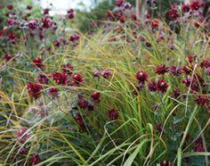 Anemanthele lessoniana and Aquilegia vulgaris var. stellata 'Ruby Port'