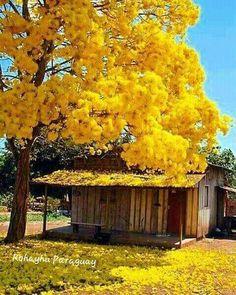 Tajy o Lapacho, es el árbol nacional del Paraguay hay de diversos colores, amarillo, rosado, blanco, el lilaceo