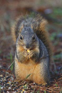 An Arkansas Fox Squirrel Eating Corn