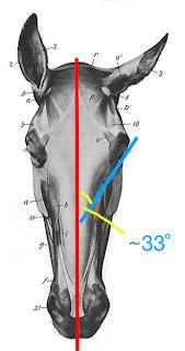 Musings at Minkiewicz Studios LLC: Equine Anatomy and Biomechanics: A Primer of . - Musings at Minkiewicz Studios LLC: Equine Anatomy and Biomechanics: A Primer of Equine Engineering - Anatomy Drawing, Anatomy Art, Drawing Art, Horse Sculpture, Animal Sculptures, Horse Drawings, Animal Drawings, Horse Head, Horse Art