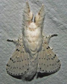venezuelan poodle moth | Tumblr