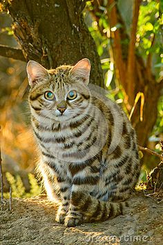 Rare small wildcat of South Africa called the Black Footed Cat (felis nigripes) or the Anthill Tiger. Also known as Small Spotted Cat African Wild Cat, African Cats, African Animals, Small Wild Cats, Big Cats, Cool Cats, Cats And Kittens, Beautiful Cats, Animals Beautiful