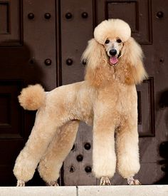 Poodle Grooming, Dog Grooming, Yorkie Poodle, Apricot Standard Poodle, Standard Poodles, Pet Dogs, Dog Cat, Doggies, Poodle Haircut