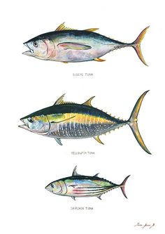 POSTER PRINT - Tuna fish species - Bigeye Yellowfin & Skipjack - sport fishing art print - fishes poster decor -by Juan Bosco Pesca Spinning, Framed Art Prints, Poster Prints, Frame Border Design, Wildlife Paintings, Fish Paintings, Tuna Fishing, Fish Drawings, Kunst Poster