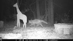 Wild Wood en Provence: fox and the neighbor