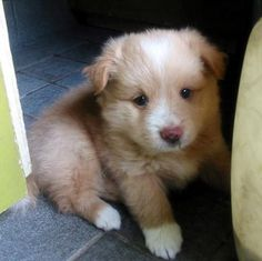 Nova Scotia Duck Tolling Retriever puppy.  My late dog was this breed...I want another one someday.