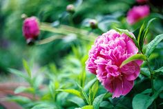 .love peonies they always remind me of my great grandmas house in Roachdale, In.  She always had them.  I started two plants when we lived in indiana, one took immediately the other took 6 years to finally bloom of course the last year we lived there
