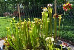 The in ground bog has exploded with growth in the unusually warm temperatures. #sarracenia #northamericanpitcherplant #carnivorousplant #carnivorousplantsofinstagram #pitcherplant by chevyguy8893