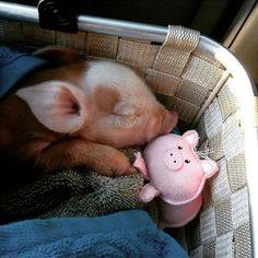 Piglet in basket dreamy piggy dreams ❤️