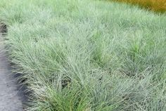 Festuca Banks Peninsula in a 1L ecotray