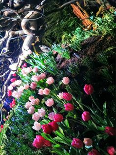 I can't wait for my tulips to bloom in #Ohio . Till then I'm enjoying #NWFGS tulips