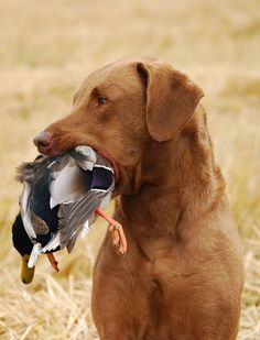 Pawsome Pet of the Week - Gambler the Chesapeake Bay Retriever | Pawsitively Pets