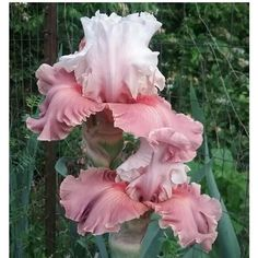 Irises: Plant Care and Collection of Varieties - Garden.org