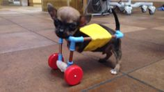 How did an ingenious vet make this tiny disabled dog's cart?