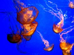 Orange jellyfish found at the California Academy of the Sciences.