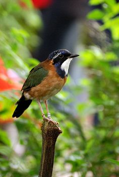 Pitta-like Ground Roller (Atelornis pittoides) is a species of bird in the Brachypteraciidae family. It is endemic to Madagascar. All Birds, Little Birds, Love Birds, Animals And Pets, Animals Of The World, Cute Animals, Pretty Birds, Beautiful Birds, Madagascar