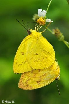 """Butterfly of the Month - October 2012 The Orange Emigrant ( Catopsilia scylla cornelia ) """" The falling leaves drift by the window. Flying Flowers, Butterflies Flying, Beautiful Butterflies, Beautiful Birds, Madame Butterfly, Monarch Butterfly, Butterfly Wings, World Of Color, Color Of Life"""