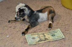 Look at This Tiny Goat http://cheezburger.com/7607302912