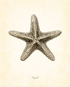 Items similar to Vintage Starfish in Aqua 8 x 10 Natural History Art Print Beach Cottage Decor on Etsy Starfish Drawing, Starfish Painting, Maritime Tattoo, Beach Cottage Decor, Coastal Decor, Sea Art, Beach Cottages, Beach Themes, Natural History