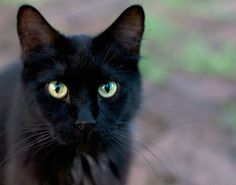 pure black cat • harley.
