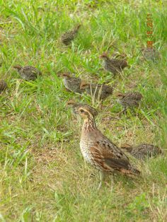 Momma Quail and Brood