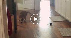 Esta Gatinha Cega Não é Um Cão Mas Apanha Brinquedo e Devolve Ao Dono Tão Bem Quanto Eles http://www.funco.biz/esta-gatinha-cega-cao-brinquedo-dono-quanto/