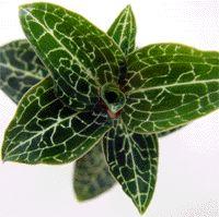 Anoectochilus setaceus