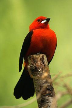 Scarlet Tananger