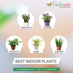 Choose from a wide variety of Indoor Plants Online. Call us at or Choose from a wi Buy Indoor Plants Online, Best Indoor Plants, Amazing Gardens, Beautiful Gardens, Dracaena Plant, Cheap Plants, Flower Window, Corner Garden, Dendrobium Orchids