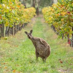 This Adelaide Hills Wine Lover. | The 30 Cutest Animals In Australia Ranked From Cute To Very Very Cute