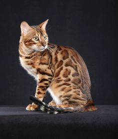 Talking Bengal cats on the beach! Silly Cats, Cats And Kittens, Funny Cats, Cats Meowing, Big Cats, I Love Cats, Cute Cats, Tortoiseshell Tabby, Toyger Cat