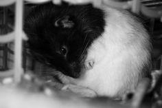 Shmoo the rat