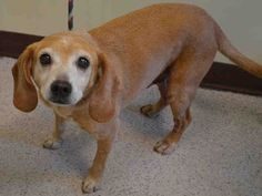 SUPER URGENT Manhattan Center DAVE – A0705497 ***RETURNED 05/27/15*** NEUTERED MALE, TAN / WHITE, BEAGLE MIX, 10 yrs OWNER SUR – ONHOLDHERE, HOLD FOR ID Reason DESTRUCTIV Intake condition EXAM REQ Intake Date 05/27/2015