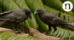 Crows Are Way Smarter Than You Think