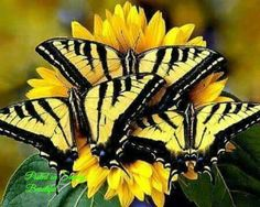 Trio of western tiger swallowtail butterflies. yellow and black butterflies on yellow flowers Butterfly Kisses, Butterfly Flowers, Butterfly Bush, Butterfly Photos, Monarch Butterfly, Butterfly Wings, Yellow Flowers, Beautiful Bugs, Beautiful Butterflies