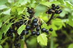 Wild black currant berries