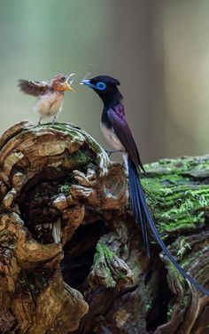 Japanese Paradise Flycatcher Father And His Baby | Photo by Nobby Clarke