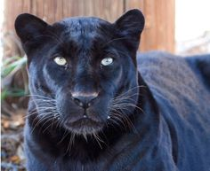 """""""Eddy"""" the Black Leopard that was raised at The Wild Animal Sanctuary in Colorado"""
