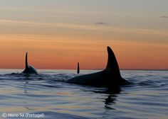 Orcas at sunset - Nuno Sá - Wildlife Photographer of the Year 2008 : Animals in their Environment - Highly commended