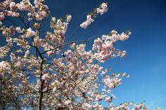 Cherry blossoms at Bispebjerg Kirkegård, Copenhagen by blogliebling.dk