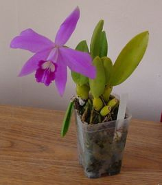 Laelia sincorana - Orchid Board - Most Complete Orchid Forum on the web !