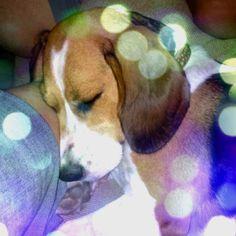 My beagle Daisy