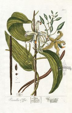 Vanilla, the vanilla orchids, form a flowering plant genus of about 110 species in the orchid family (Orchidaceae).Subfamily: 	Vanilloideae. Tribe: 	Vanilleae.  Elizabeth Blackwell was the artist and engraver of A Curious Herbal in 1737-1739,