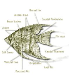 Image result for do angelfish have anterior and posterior dorsal fin
