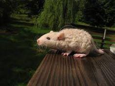 beige rat curly rats rex berkshire berk