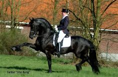 TIETSE 428 Sport, one of the GREATEST FRIESIAN STALLIONS, AMAZING MOVEMENTS, watch this Horse move and you WILL FALL IN LOVE!!