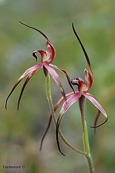 An endemic Tasmanian native orchid on the Threatened species list. Dark Flowers, Exotic Flowers, Beautiful Flowers, Alpine Flowers, Australian Native Flowers, Australian Plants, Growing Flowers, Planting Flowers, Rare Plants