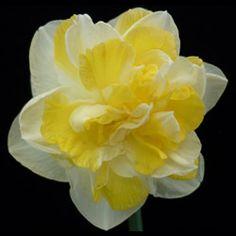Double Daffodil-Pukenui