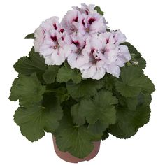 Mona Lisa #franse #geranium #edelgeranie #regal #pelargonium #garden #plants #flowers