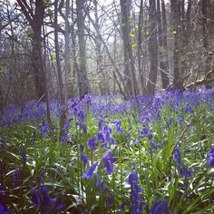 The sweet scent of these bluebells hits you even before you walk into #TheVyne's woods.